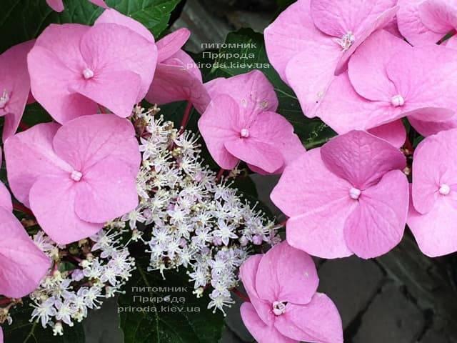 Гортензия крупнолистная Таубе (Hydrangea macrophylla Taube) ФОТО Питомник растений Природа (11)