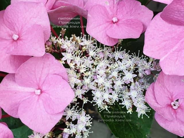 Гортензия крупнолистная Таубе (Hydrangea macrophylla Taube) ФОТО Питомник растений Природа (12)