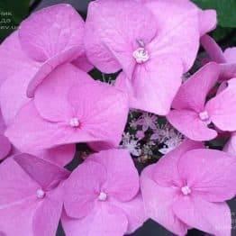 Гортензия крупнолистная Таубе (Hydrangea macrophylla Taube) ФОТО Питомник растений Природа (13)