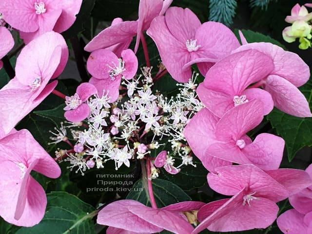 Гортензия крупнолистная Таубе (Hydrangea macrophylla Taube) ФОТО Питомник растений Природа (14)