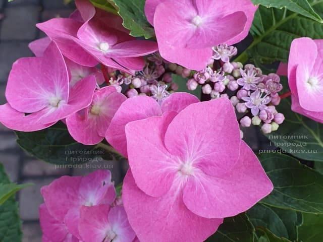 Гортензия крупнолистная Таубе (Hydrangea macrophylla Taube) ФОТО Питомник растений Природа (18)