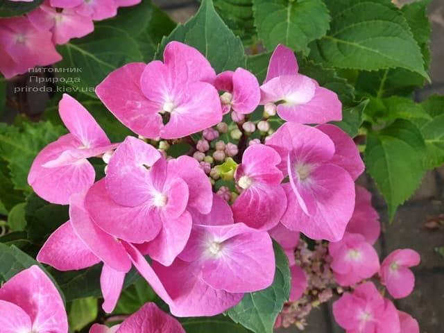 Гортензия крупнолистная Таубе (Hydrangea macrophylla Taube) ФОТО Питомник растений Природа (2)