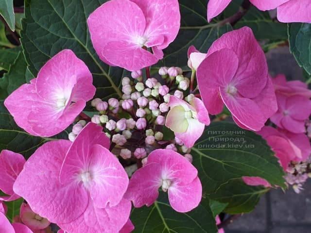 Гортензия крупнолистная Таубе (Hydrangea macrophylla Taube) ФОТО Питомник растений Природа (3)