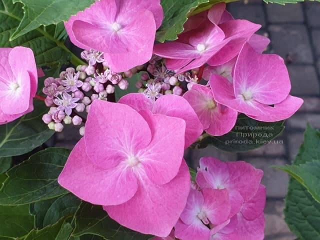 Гортензия крупнолистная Таубе (Hydrangea macrophylla Taube) ФОТО Питомник растений Природа (4)