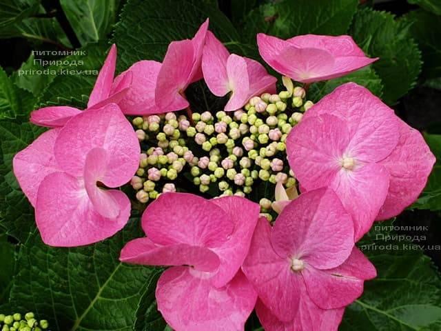 Гортензия крупнолистная Таубе (Hydrangea macrophylla Taube) ФОТО Питомник растений Природа (5)