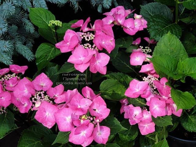 Гортензия крупнолистная Таубе (Hydrangea macrophylla Taube) ФОТО Питомник растений Природа (6)