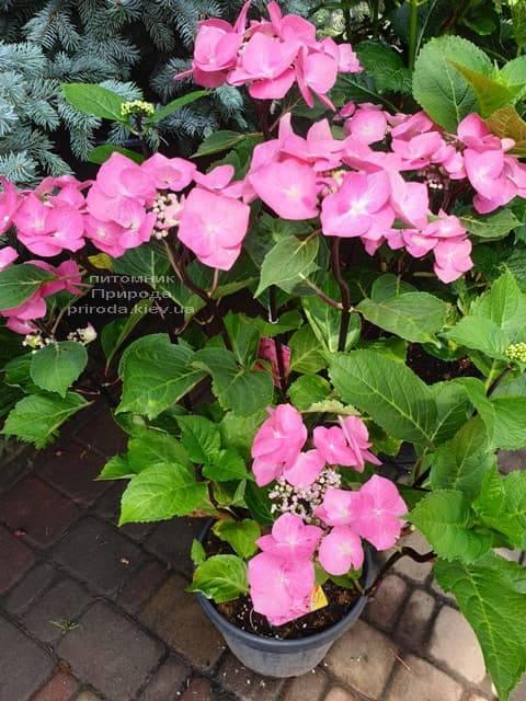 Гортензия крупнолистная Таубе (Hydrangea macrophylla Taube) ФОТО Питомник растений Природа (7)