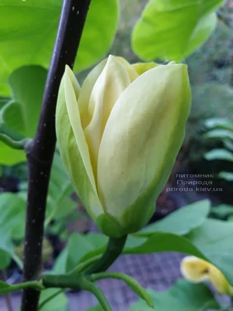 Магнолія бруклінська Еллоу Берд (Magnolia brooklynensis Yellow Bird) ФОТО Розплідник рослин Природа (20)