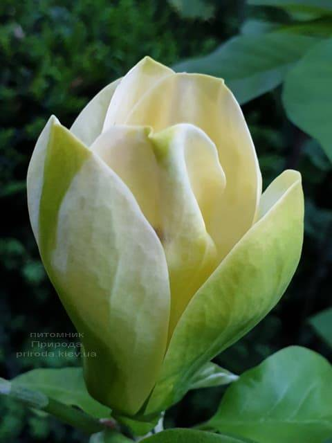 Магнолия бруклинская Еллоу Берд (Magnolia brooklynensis Yellow Bird) ФОТО Питомник растений Природа (21)