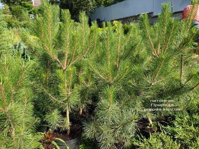 Сосна Чёрная (Австрийская) (Pinus nigra austriaca) ФОТО Питомник растений Природа (10)