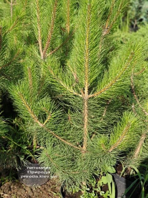 Сосна Чёрная (Австрийская) (Pinus nigra austriaca) ФОТО Питомник растений Природа (8)