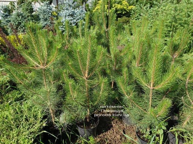 Сосна Чёрная (Австрийская) (Pinus nigra austriaca) ФОТО Питомник растений Природа (9)