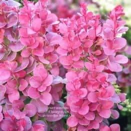 Барбарис Тунберга Флоренсе (Berberis thunbergii Florence) ФОТО Питомник растений Природа (4)