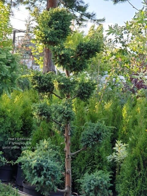 Бонсай Ялівець китайський Блю Альпс (Juniperus chnensis Blue Alps) ФОТО Розплідник рослин Природа (1)