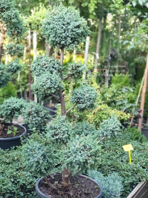 Бонсай Ялівець китайський Блю Альпс (Juniperus chnensis Blue Alps) ФОТО Розплідник рослин Природа (2)