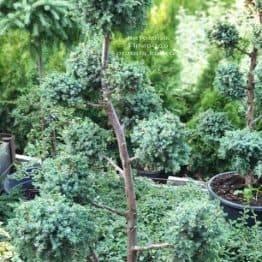 Бонсай Можжевельник китайский Блю Альпс (Juniperus chnensis Blue Alps) ФОТО Питомник растений Природа (3)