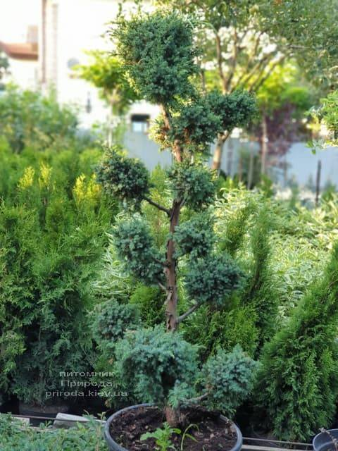 Бонсай Ялівець китайський Блю Альпс (Juniperus chnensis Blue Alps) ФОТО Розплідник рослин Природа (4)
