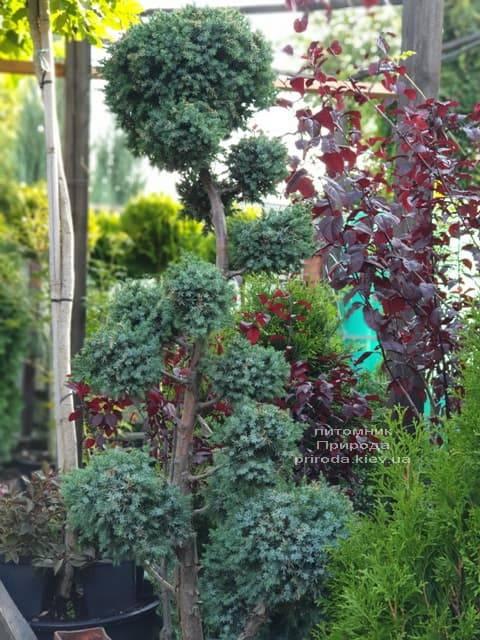 Бонсай Ялівець китайський Блю Альпс (Juniperus chnensis Blue Alps) ФОТО Розплідник рослин Природа (5)