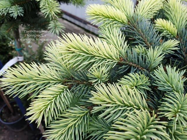 Ель голубая Биалобок (Picea pungens Bialobok) ФОТО Питомник растений Природа (11)