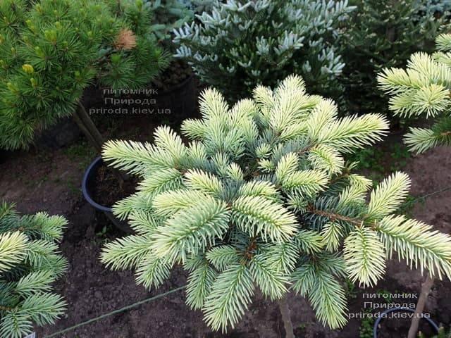 Ель голубая Биалобок (Picea pungens Bialobok) ФОТО Питомник растений Природа (12)