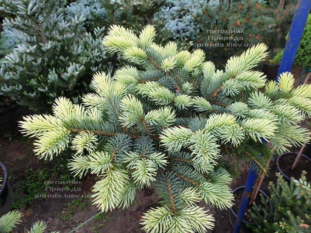 Ель голубая Биалобок (Picea pungens Bialobok) ФОТО Питомник растений Природа (13)