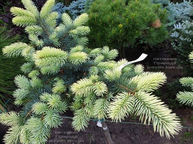 Ель голубая Биалобок (Picea pungens Bialobok) ФОТО Питомник растений Природа (14)