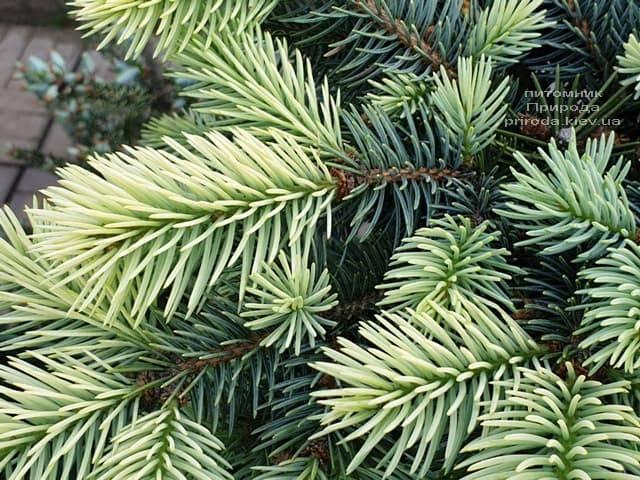 Ялина блакитна Біалобок (Picea pungens Bialobok) ФОТО Розплідник рослин Природа (5)