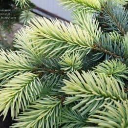 Ялина блакитна Біалобок (Picea pungens Bialobok) ФОТО Розплідник рослин Природа (6)