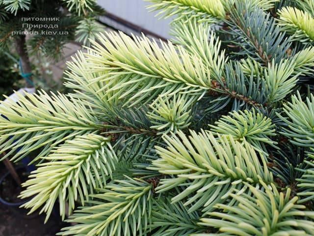 Ель голубая Биалобок (Picea pungens Bialobok) ФОТО Питомник растений Природа (6)