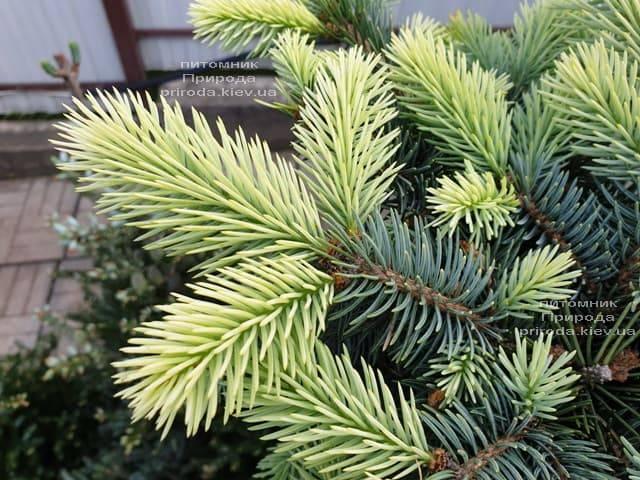 Ялина блакитна Біалобок (Picea pungens Bialobok) ФОТО Розплідник рослин Природа (7)