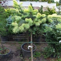 Ялина блакитна Біалобок (Picea pungens Bialobok) ФОТО Розплідник рослин Природа