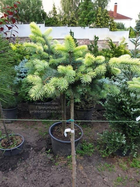 Ель голубая Биалобок (Picea pungens Bialobok) ФОТО Питомник растений Природа