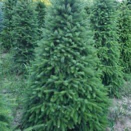 Ялина Сербська (Picea omorica) ФОТО Розплідник рослин Природа (11)
