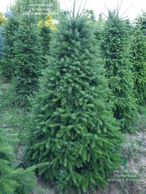 Ель Сербская (Picea omorica) ФОТО Питомник растений Природа (11)