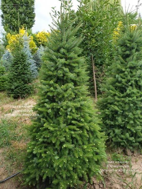 Ялина Сербська (Picea omorica) ФОТО Розплідник рослин Природа (12)