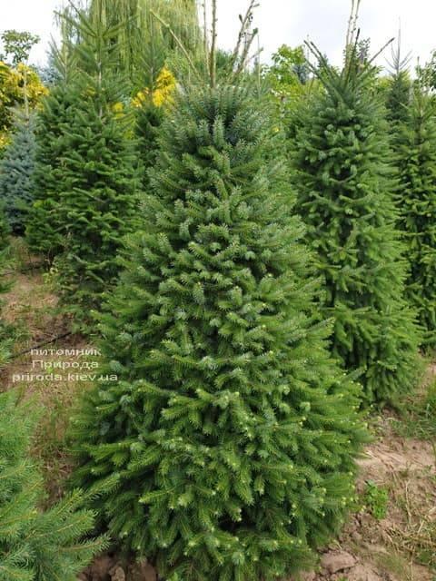 Ялина Сербська (Picea omorica) ФОТО Розплідник рослин Природа (13)