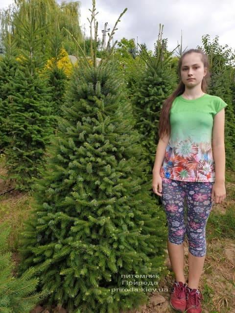 Ялина Сербська (Picea omorica) ФОТО Розплідник рослин Природа (14)