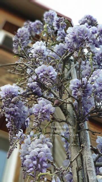 Глициния китайская (Wisteria sinensis) ФОТО Питомник растений Природа (1)