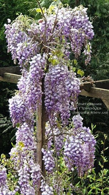 Глициния китайская (Wisteria sinensis) ФОТО Питомник растений Природа (10)