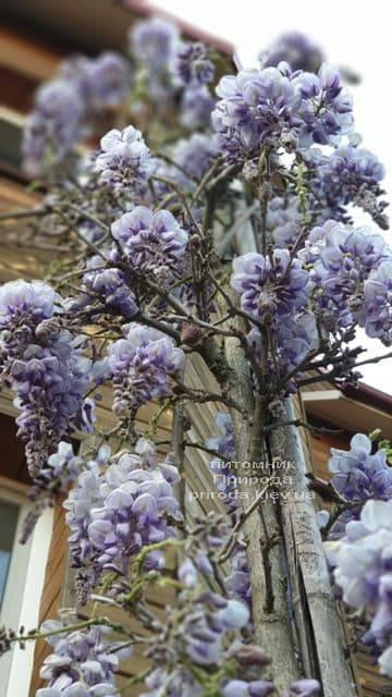 Глициния китайская (Wisteria sinensis) ФОТО Питомник растений Природа (2)