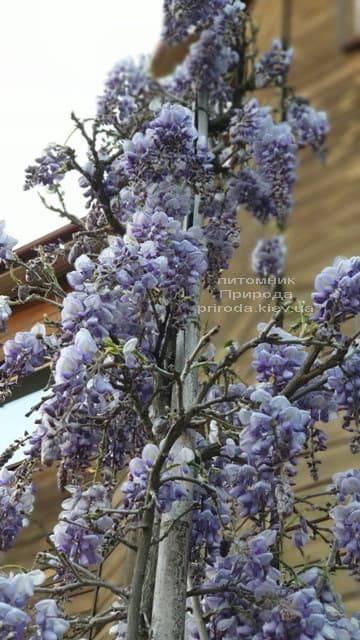 Глициния китайская (Wisteria sinensis) ФОТО Питомник растений Природа (4)