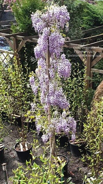 Глициния китайская (Wisteria sinensis) ФОТО Питомник растений Природа (5)