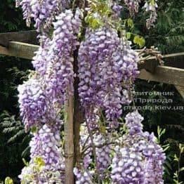 Гліцинія китайська (Wisteria sinensis) ФОТО Розплідник рослин Природа (6)