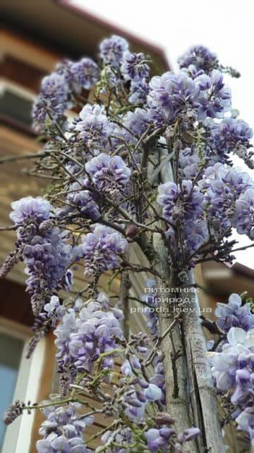 Глициния китайская (Wisteria sinensis) ФОТО Питомник растений Природа (8)