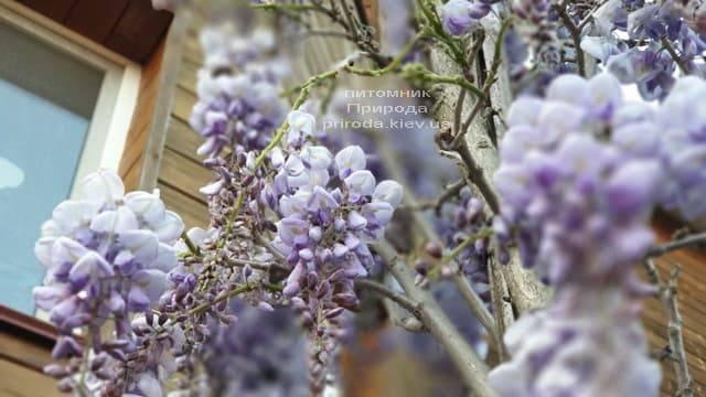 Глициния китайская (Wisteria sinensis) ФОТО Питомник растений Природа (9)