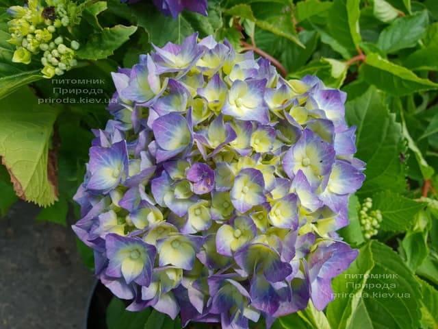 Гортензія крупнолистная Бела (Hydrangea macrophylla Bela) ФОТО Розплідник рослин Природа (1)
