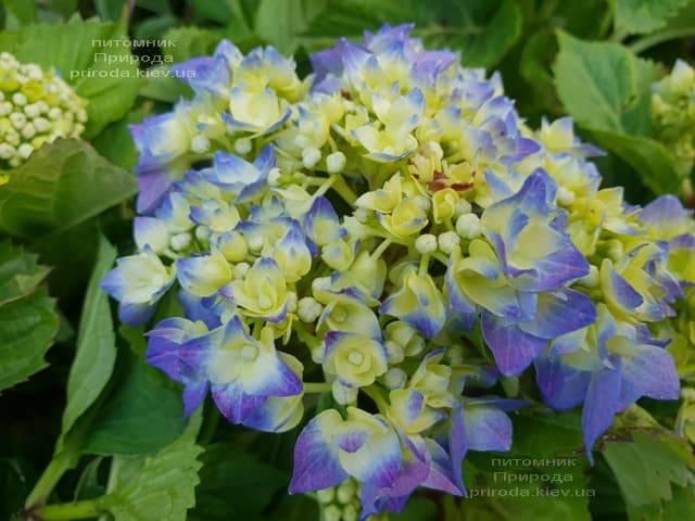 Гортензія крупнолистная Бела (Hydrangea macrophylla Bela) ФОТО Розплідник рослин Природа (4)