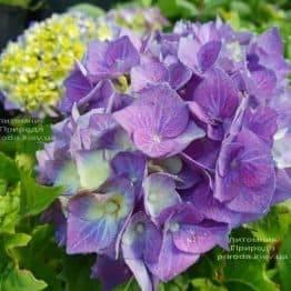 Гортензія крупнолистная Бела (Hydrangea macrophylla Bela) ФОТО Розплідник рослин Природа (5)