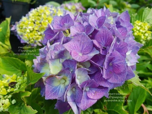 Гортензия крупнолистная Бела (Hydrangea macrophylla Bela) ФОТО Питомник растений Природа (5)