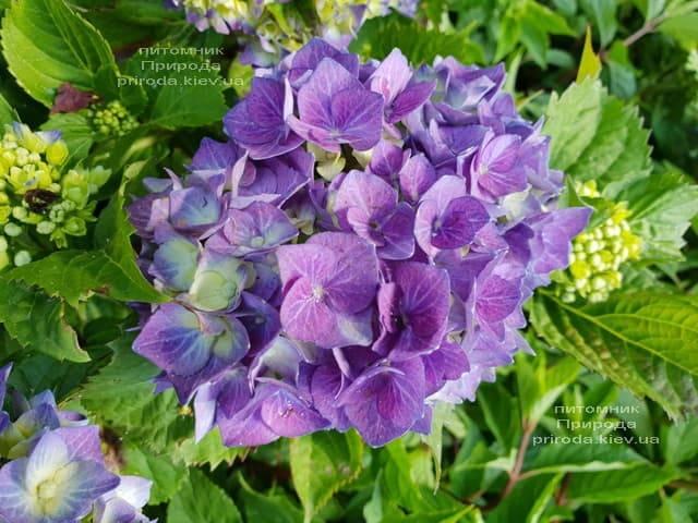 Гортензия крупнолистная Бела (Hydrangea macrophylla Bela) ФОТО Питомник растений Природа (6)